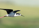 Black-necked Stilt taken June 19, 2016 at Baskett Slough National Wildlife Refuge, OR